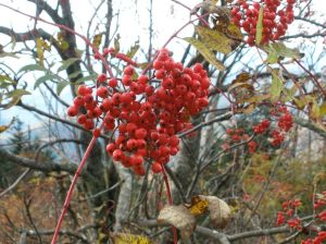 Beautiful Red Colored Berries